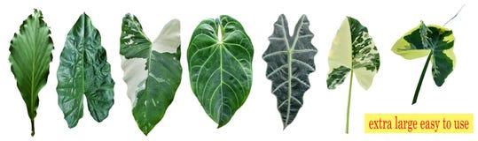 Виды листьев таро изолированных в белой предпосылке, можно использовать как обои и предпосылка стоковое фото rf