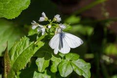 Виды маленькие бабочки на лист Стоковое Изображение RF