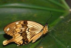 вид бабочки Стоковые Изображения RF
