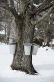 Вид ведер от дерева клена для того чтобы собрать сок для того чтобы сделать сахар клена Стоковая Фотография