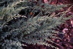 Вид декоративного типа можжевельника Стоковые Изображения
