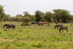 Вид зебры африканских equids в национальном парке Tarangire, Танзании Стоковые Изображения