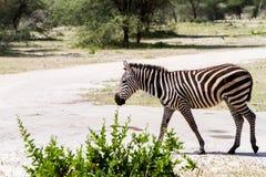 Вид зебры в природном парке, Танзании Стоковое Изображение RF