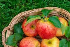 Вид красных и желтых зрелых яблок торжественный в корзине стоковая фотография