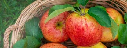 Вид красных и желтых зрелых яблок торжественный на деревянной предпосылке, знамени стоковое фото