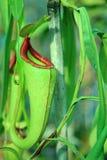 Вид кувшинов Nepenthes от усиков Селективный фокусировать на стоковое изображение rf