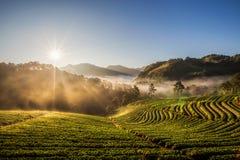 Вид на сад плантации клубники в туманном утре на Doi стоковое фото rf