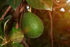 Вид плодоовощ авокадоа на дереве Стоковая Фотография