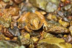 вид Раны pileata природы горы лягушки редкий стоковая фотография