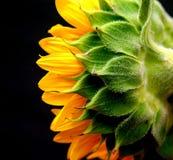 вид сбокуый солнцецвета стоковая фотография rf