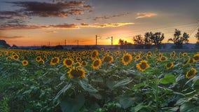 вид сбокуый солнцецветов поля Стоковое Фото