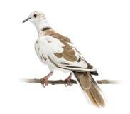 Вид сзади африканского Collared ого Dove стоковые фото