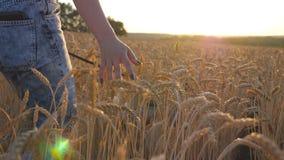 Вид сзади маленькой девочки идя с ее собакой сибирской лайки через поле хлопьев и штрихуя золотую рожь на заходе солнца сток-видео