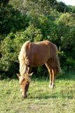 Вид спереди дикой лошади Стоковое Изображение