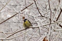 Вид спереди зимы желтого кавказского titmouse в снежных ветвях стоковое фото rf