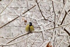 Вид спереди зимы сгребенного желтого кавказского titmouse в снежном стоковые фото