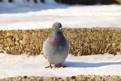 Вид спереди конца-вверх кавказского голубя сидя на снеге-covere Стоковое Фото