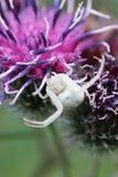 Вид спереди макроса кавказского паука белого цветка на flo лопуха стоковые изображения rf