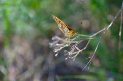 Вид спереди оранжевой бабочки на ветви в природе Стоковое Фото