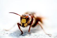 вид спереди пчелы Стоковые Фотографии RF