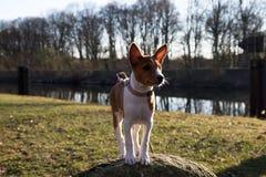 Вид спереди щенка basenji 2 тонов смотря, что и стоя на утесе в meppen emsland Германия стоковое фото