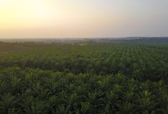 Вид с воздуха зеленой плантации ладони во время восхода солнца Стоковое Изображение