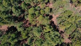 Вид с воздуха - зеленый плотный лес сосен, ветер шевелит верхние части деревьев акции видеоматериалы