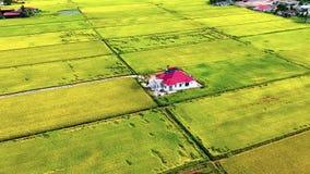 Вид с воздуха изолированного дома в золотых рисовых полях сток-видео