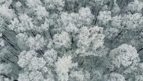 Вид с воздуха красивого леса сосен сжался в снеге видеоматериал