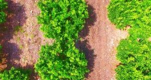 Вид с воздуха на деревьях мандарина сток-видео