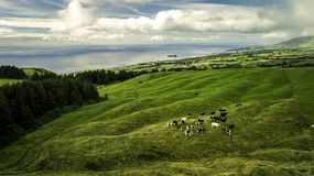 Вид с воздуха на табуне коров стоя на зеленом поле Стоковое Изображение