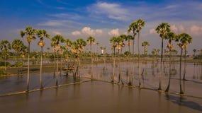 Вид с воздуха пальмы сахара с небом захода солнца Стоковая Фотография