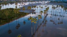 Вид с воздуха пальмы сахара с небом захода солнца Стоковое Изображение RF