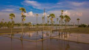 Вид с воздуха пальмы сахара Стоковое Изображение