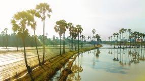 Вид с воздуха пальмы сахара Стоковая Фотография RF
