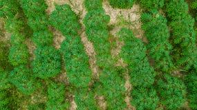 Вид с воздуха плантации кассавы Стоковое фото RF