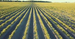 Вид с воздуха полей моркови акции видеоматериалы