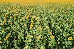 Вид с воздуха поля солнцецвета Стоковые Изображения