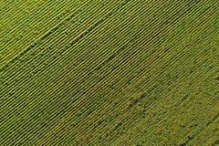 Вид с воздуха поля солнцецвета Стоковые Изображения RF
