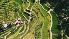 Вид с воздуха поля террасы риса принятого в Tegallalang, Бали Индонезию сток-видео