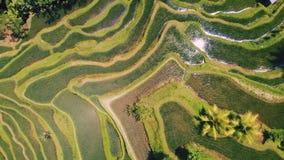 Вид с воздуха поля террасы риса принятого в Tegallalang, Бали Индонезию видеоматериал
