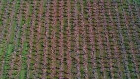 Вид с воздуха прямых строк деревьев засаженных в саде Айдахо акции видеоматериалы