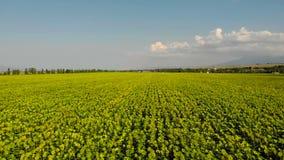 Вид с воздуха - цветя солнцецветы поле l солнцецветы сток-видео