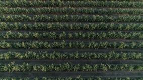 Вид с воздуха яблоневого сада, аккуратных строк зеленых фруктовых дерев дерев в замедленном движении видеоматериал