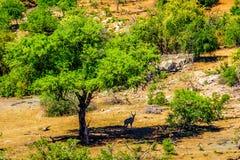 Вид с воздуха Kudus под маской дня стоя в тени дерева в национальном парке Kruger Стоковые Фотографии RF