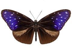 Вид Euploea Mulciber бабочки Стоковое Изображение RF