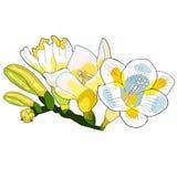 Вид freesia цветка иллюстрации вектора радужки Стоковая Фотография