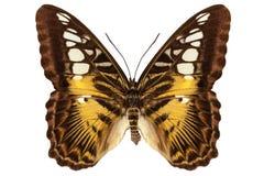 Вид Parthenos sylvia бабочки стоковые изображения rf