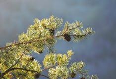 Вид Pinecones от ветви сосны высокой над Devil& x27; каньон s в области ущелья Red River национального леса Daniel Boone Стоковые Фото