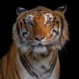Визирование тигра стоковые фото